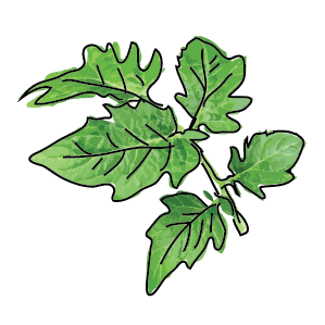 Foglia di pomodoro